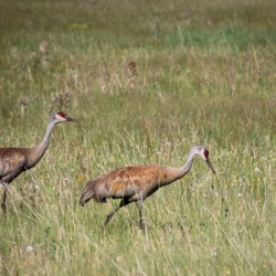 As Evan and I were driving back into Jackson from dropping my girls off at camp we came across these beautiful Sand Hill Cranes in the Elk Refuge. I have come across them before on trail rides, and they are quite large and make the most unusual noise. They are spectacular creatures.